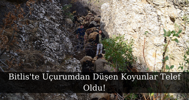 Bitlis'te Uçurumdan Düşen Koyunlar Telef Oldu!